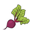 hand drawn garden beet vector image