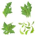 bunch fresh arugula herb isolated set vector image