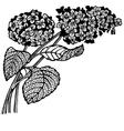 hydrangea branch vector image