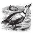 labrador duck vintage vector image vector image