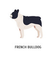french bulldog or frenchie funny dog of short vector image