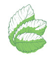 fresh green mint leaves organic aromatic vector image vector image