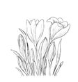 Hand drawn crocus flowers vector image