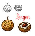 longan fruit sketch of asian exotic tropical berry vector image