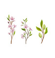 almond plant branches with blossoming flowers vector image vector image