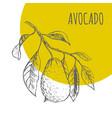 avocado fruit botanical sketch plant