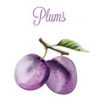 plums watercolor summer fruits icon label vector image