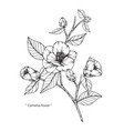camellia japonica flower and leaf hand drawn vector image vector image
