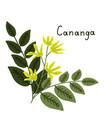 cananga odorata vector image