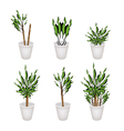 Yucca Tree or Dracaena Plant in A Flower Pot vector image vector image
