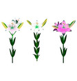set of different beautiful lily flowers with buds vector image