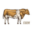 farm cattle bull or cow natural milk and meat vector image