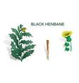 black henbane vector image