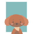 toy poodle vector image vector image