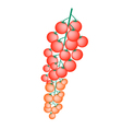 Fresh Red Cherry Tomatoes on A Branch vector image