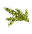 green spruce twig isolated on vector image vector image
