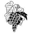 grapes on grapevine vector image vector image