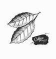 black and white coffee leaves vector image