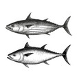 ink sketch of skipjack and atlantic bluefin tuna vector image