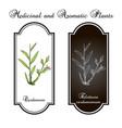green or true cardamom elettaria cardamomum vector image vector image