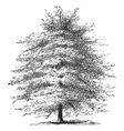 Italian Cypress vintage engraving vector image vector image