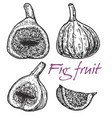 figs hand drawn vintage vector image