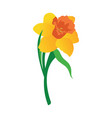 orange and yellow daffodil flower with grren vector image vector image