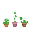 Three Fresh Ivy Gourd in Ceramic Flower Pots vector image vector image