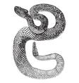 South American Rattlesnake engraving vector image