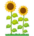 two sunflowers in the garden vector image vector image