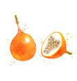 watercolor granadilla vector image