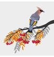 Waxwing on rowan branch vector image