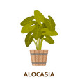 alocasia decorative houseplant in pot florist vector image vector image