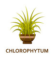 chlorophytum decorative houseplant in pot vector image vector image