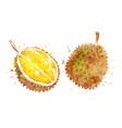 watercolor durian vector image