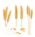 wheat realistic agriculture healthy organic food vector image