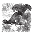 Black Grouse vintage engraving vector image vector image