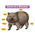 Diagram showing parts of wombat vector image vector image