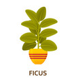 ficus decorative houseplant in pot florist vector image vector image
