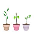 Three Green Eggplant Tree in Ceramic Pots vector image vector image