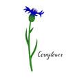 plant of cornflower vector image