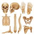 human bones realistic skeleton elements for vector image