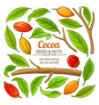 cocoa plant elements set on white background vector image vector image