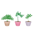 Green Parsley Plant in Ceramic Flower Pots vector image vector image