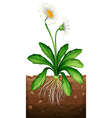 White daisy planting under the ground vector image
