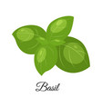 basil isolated on whit vector image