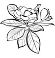 magnolia floral botanical flowers vector image vector image