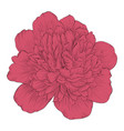 beautiful peony flower isolated on background vector image vector image