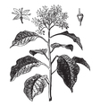 Pagoda Dogwood vintage engraving vector image vector image