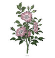 wild rose hand drawing vintage clip art isolated vector image vector image